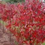 Acer rubrum - Fairview Flame